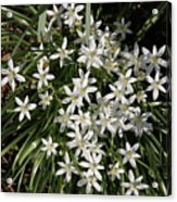 White Spring Flowers Acrylic Print