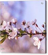 White Spring Flowers Acrylic Print