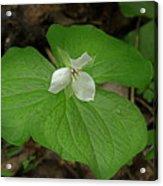 White Spring Trillium Acrylic Print