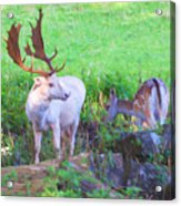 White Stag And Hind 2 Acrylic Print