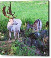 White Stag And Hind Acrylic Print