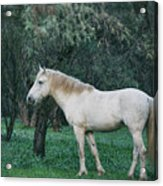 White Stallion In The Woods  Acrylic Print