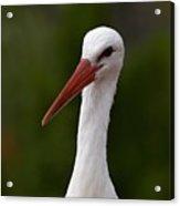 White Stork 5 Acrylic Print