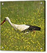 White Stork Looking For Frogs Acrylic Print