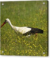 White Stork Looking Fr Frogs Acrylic Print