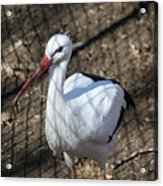 White Stork Acrylic Print