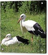 White Storks Acrylic Print