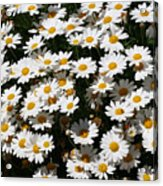 White Summer Daisies Acrylic Print