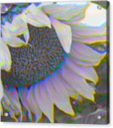 White Sunflower Acrylic Print