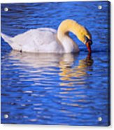 White Swan Drinking Water In A Pond Acrylic Print