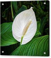 White Tail-flower Acrylic Print