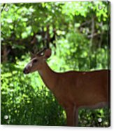 White Tailed Buck Acrylic Print