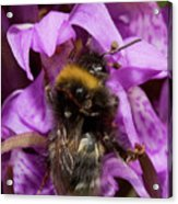 White-tailed Bumblebee On Southern Marsh Orchid Acrylic Print