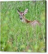 White-tailed Deer Bedded Down In Tall Grass Acrylic Print
