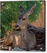 White-tailed Deer H1829 Acrylic Print