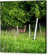 White Tailed Deer Acrylic Print
