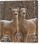 White-tailed Deer Pair Peering Out From Snowstorm Acrylic Print