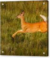 White-tailed Doe Leaping Acrylic Print