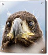 White-tailed Eagle #2 Acrylic Print