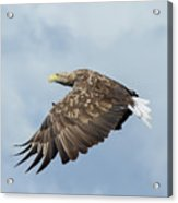White-tailed Eagle Against Clouds Acrylic Print