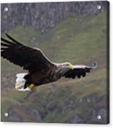 White-tailed Eagle Approaches Acrylic Print