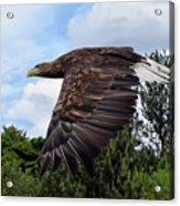 White Tailed Eagle Acrylic Print