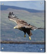 White-tailed Eagle Over Loch Acrylic Print