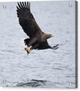 White-tailed Eagle With Catch Acrylic Print