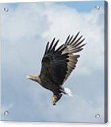 White-tailed Eagle With Fish Acrylic Print