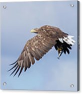 White-tailed Eagle With Lunch Acrylic Print