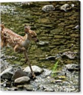White-tailed Fawn At Vichy Springs Resort In Ukiah Acrylic Print