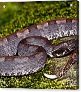 White-tailed Hognose Viper Acrylic Print