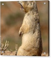 White-tailed Prairie Dog Giving A Fierce Bark Acrylic Print