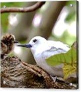 White Terns Koa And Parent...bird Love Acrylic Print