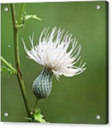White Thistle Flower Acrylic Print