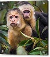 White-throated Capuchin Monkeys Cebus Acrylic Print