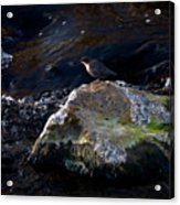 White-throated Dipper Nr 2 Acrylic Print