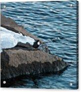 White-throated Dipper Nr 3 Acrylic Print
