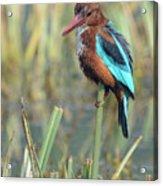 White-throated Kingfisher 13 Acrylic Print