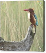 White Throated Kingfisher Acrylic Print