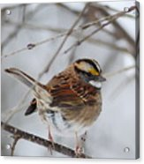 White Throated Sparrow 2 Acrylic Print
