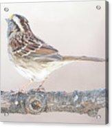 White-throated Sparrow Looking Skyward Acrylic Print