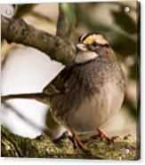 White Throated Sparrow On Branch New Jersey Acrylic Print