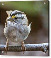 White Throated Sparrow Portrait Acrylic Print