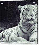White Tiger 16 Acrylic Print
