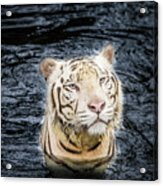 White Tiger 20 Acrylic Print