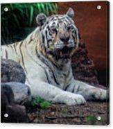 White Tiger Gladys Porter Zoo Texas Acrylic Print