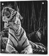 White Tiger. Growl. Acrylic Print