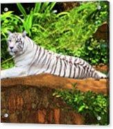 White Tiger Acrylic Print by MotHaiBaPhoto Prints