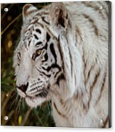 White Tiger Portrait 2 Acrylic Print